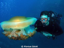 A diver check our a fried egg jelly fish. by Marcus Grant